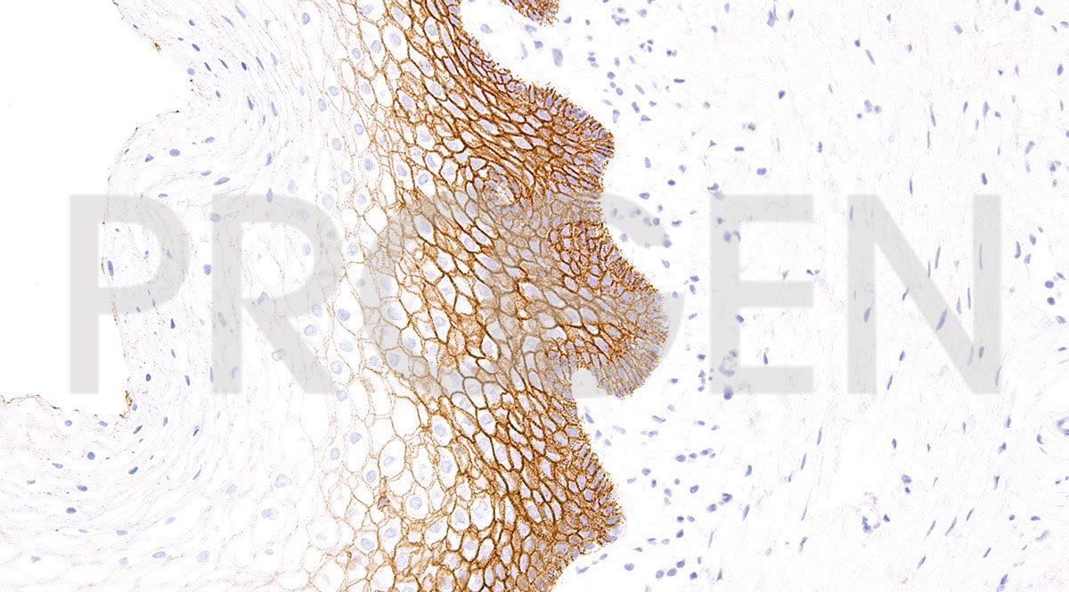 anti-E-cadherin mouse monoclonal, IHC564, purified
