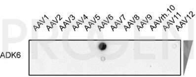 anti-AAV6 (intact particle) mouse monoclonal, ADK6, lyophilized, purified, sample
