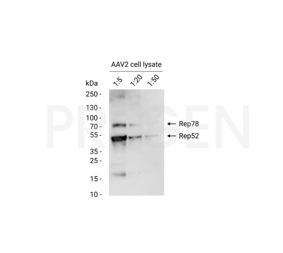 anti-AAV2 Replicase mouse monoclonal, 76.3, lyophilized, purified