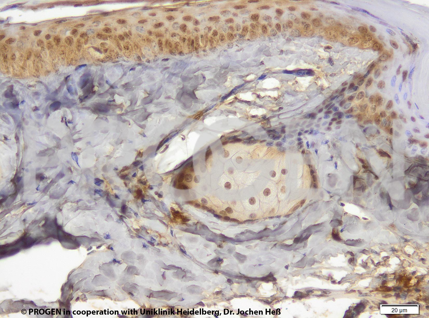 anti-Perilipin 3 (N-terminus) guinea pig polyclonal, serum, sample (ready-to-use)