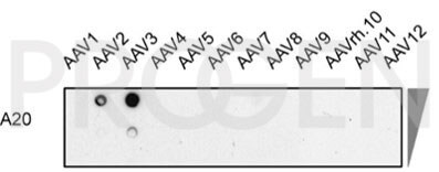 anti-AAV2 (intact particle) mouse monoclonal, A20, supernatant