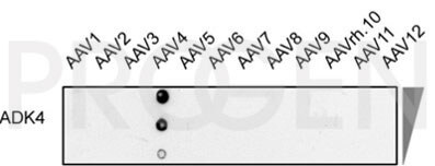 anti-AAV4 (intact particle) mouse monoclonal, ADK4, lyophilized, purified