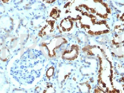 anti-MFG-E8/ Lactadherin/p47 mouse monoclonal, MFG-06, purified