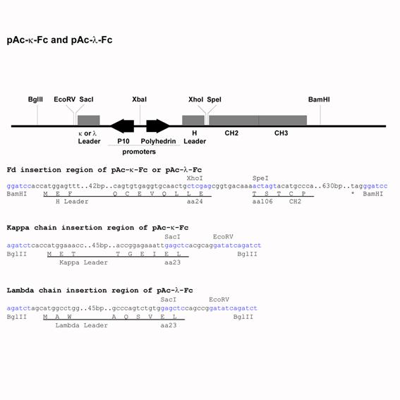 Baculo Expression Vector pAc-kappa-Fc