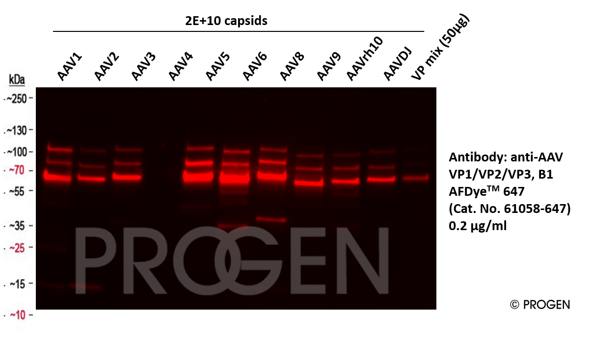 anti-AAV VP1/VP2/VP3 mouse monoclonal, B1, AFDye™ 647 Conjugate