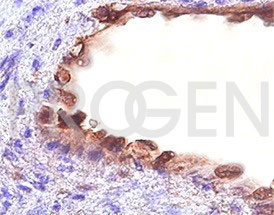 anti-CD109 mouse monoclonal, EBS-CD-046, purified