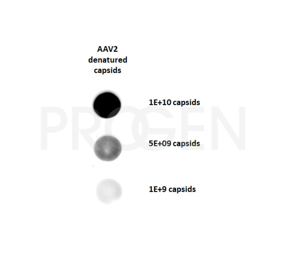 anti-AAV VP1/VP2/VP3 mouse monoclonal, B1, liquid, purified