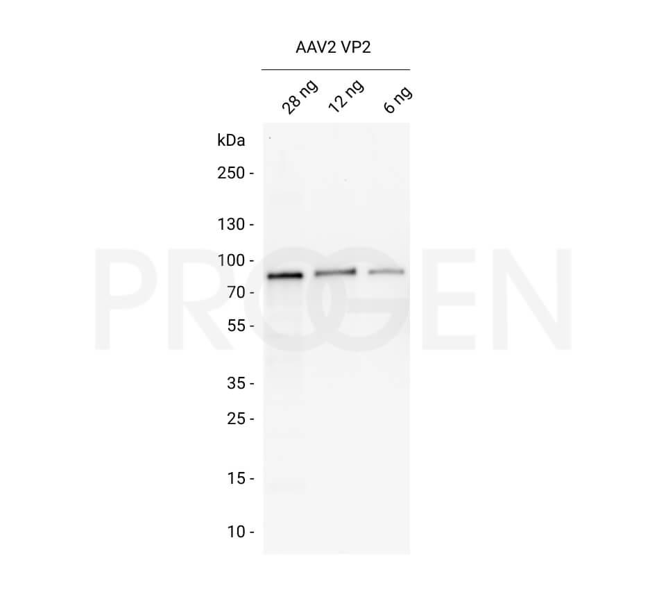 AAV2 VP2, recombinant protein