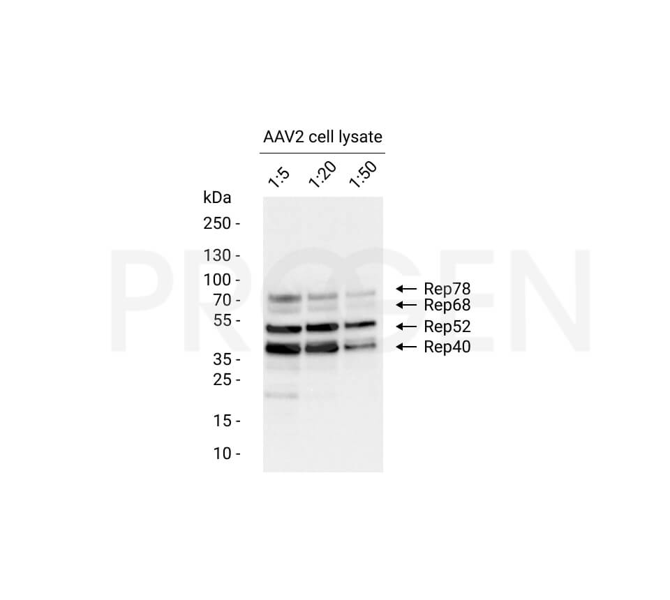 anti-AAV2 Replicase mouse monoclonal, 303.9, lyophilized, purified